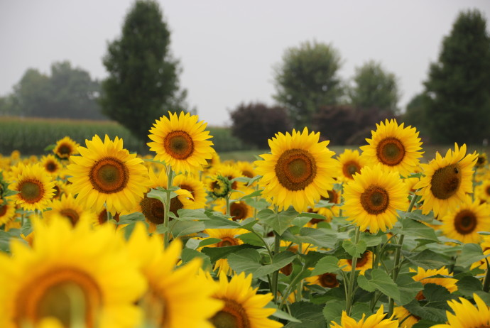 Sunflower Tours at Donaldson Farms