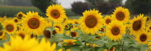 Sunflowers at Donaldson Farms - Hackettstown, NJ