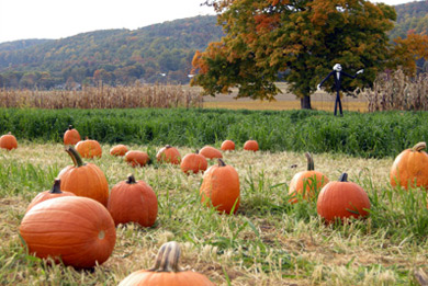Pick-Your-Own Pumpkins