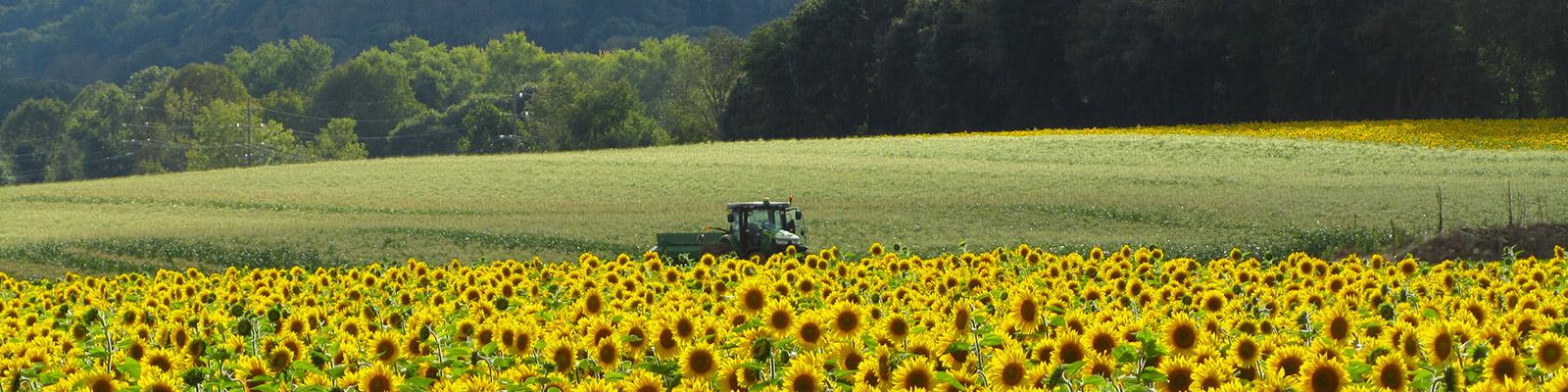 Black-Oil Sunflowers