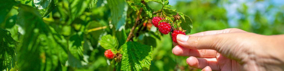 It's Raspberry Time!