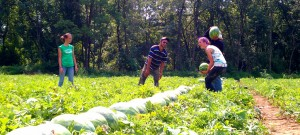 Picking-watermelons