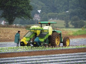 Spring-planting-of-lettuce