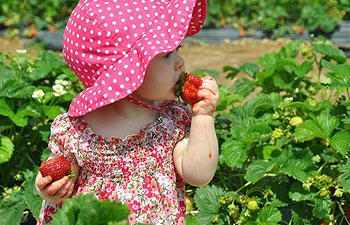Pick Your Own Strawberries - Hackettstown, NJ