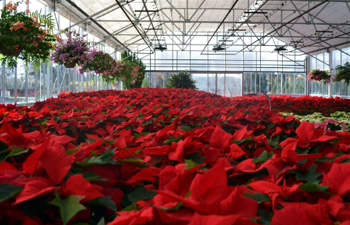 Christmas Decorations and Poinsettias